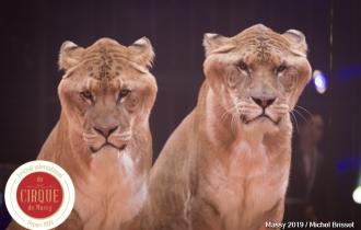MB190110A0778-Tom DIECK JR - Lions & Tigres