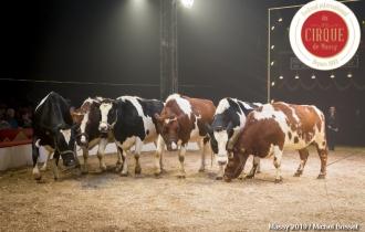 MB190111A1412-Louis KNIE - Vaches dressées