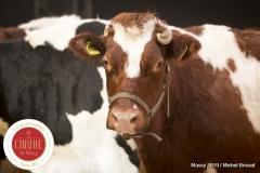 MB190109A0456-Louis KNIE - Vaches dressées