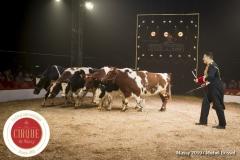 MB190111A1405-Louis KNIE - Vaches dressées