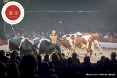MB190112A4685-Louis KNIE - Vaches dressées