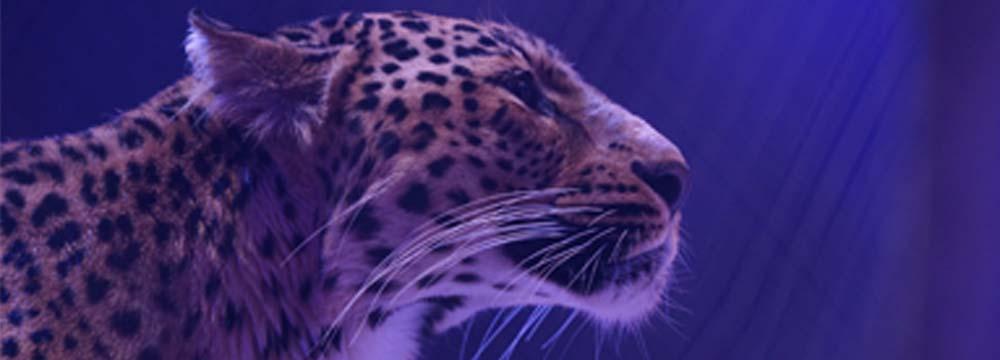 Bandeau Panthere copie