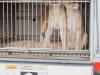 M60116A0041 - Arrivée de la ménagerie, de superbes lionnes