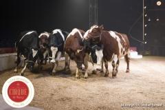 MB190109A0761-Louis KNIE - Vaches dressées