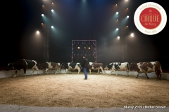 MB190109A0769-Louis KNIE - Vaches dressées